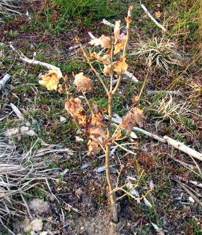 Jeune plant de chêne, parcelle 85. Photo prise le 22 Mars 2010. Cliquez pour agrandir la photo.