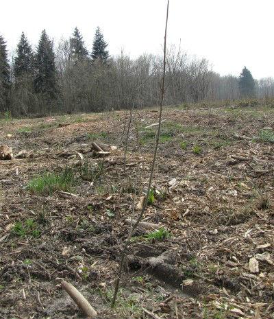 La parcelle 85 a été entièrement reboisée en jeunes plants de chênes. Photo prise le 12 Avril 2010. Cliquez pour agrandir la photo.