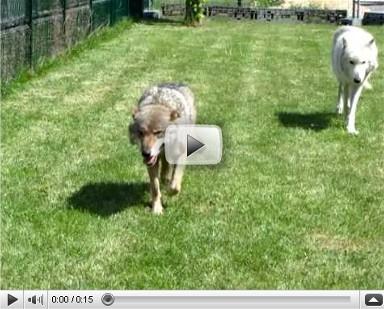 Les loups dans leur enclos paucourtois. Courte vidéo de 15 secondes. Cliquez ici pour la visualiser.